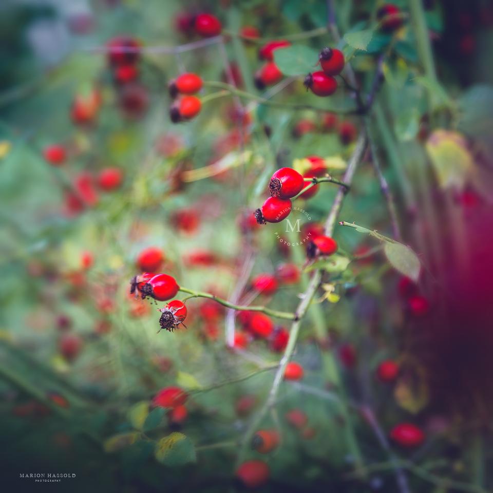 Herbstanfang mit Hagebutten